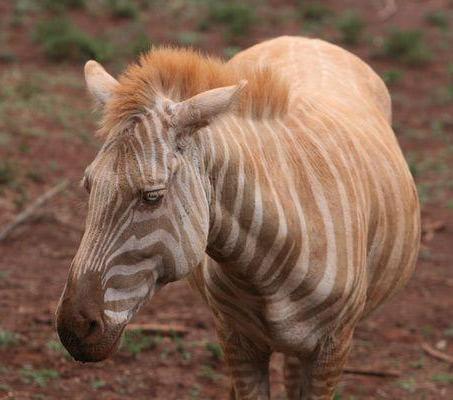 Show Horse Gallery - Albino Zebra