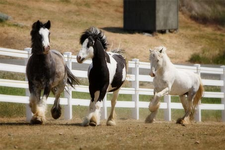 Show Horse Gallery - Black Jack's Victoria