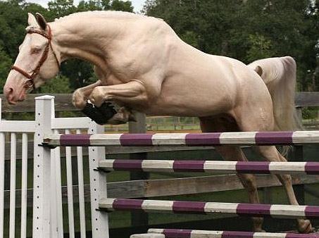 Show Horse Gallery - Blue Eyed Dream GF