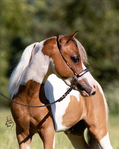 Show Horse Gallery - Champion Farms Sir Signature