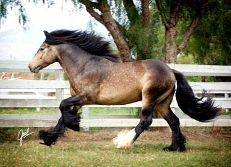 Show Horse Gallery - Cici's Duke of Earl