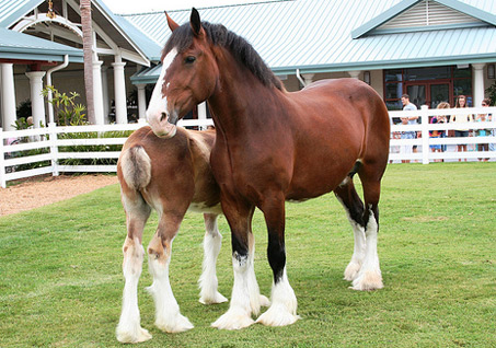 Show Horse Gallery - Clydesdale Foal