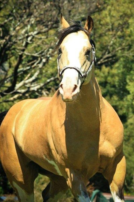 Show Horse Gallery - Coralvale Playboy