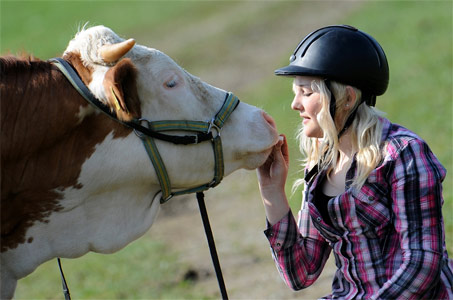 "Show Horse Gallery - A Different Kind of Cow ""Pony"""