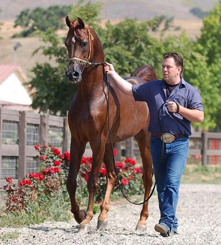 Show Horse Gallery - Desert Heat VF