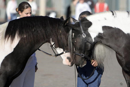 Show Horse Gallery - ER Gypsy