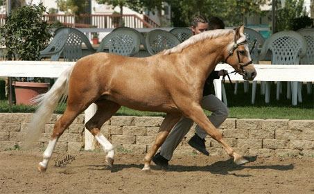 Show Horse Gallery - Goldhills Most Wanted LOM