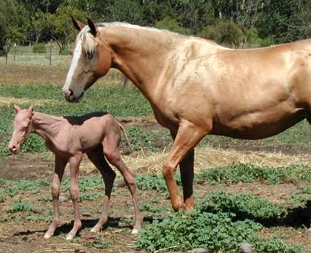 Show Horse Gallery - Have you Ever Seen a Hairless Horse?