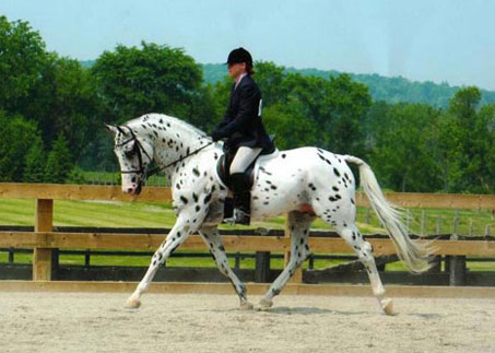 Show Horse Gallery - His Mir Image