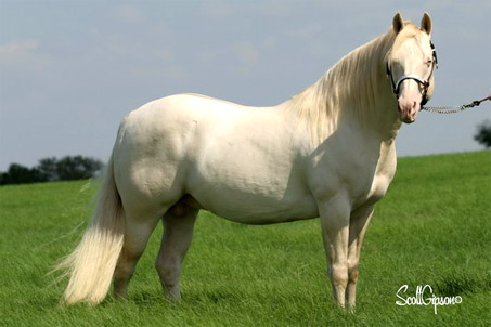Show Horse Gallery - Hollywood White
