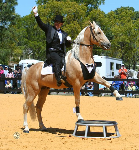 Show Horse Gallery - Ivory Pal