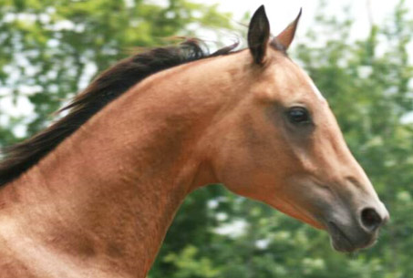 Show Horse Gallery - Jack