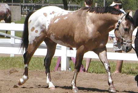 Show Horse Gallery - JTS Gold Flash