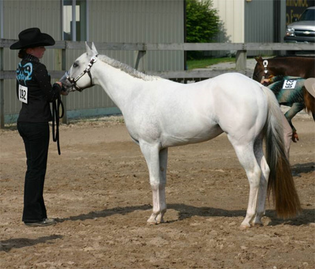 Show Horse Gallery - Kid Os Seventh Heaven