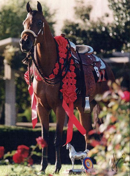 Show Horse Gallery - Pashahnata