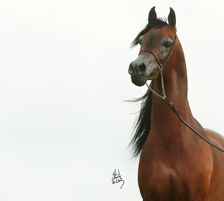 Show Horse Gallery - Pyro Thyme SA