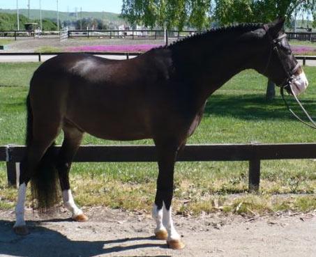 Show Horse Gallery - Rb Copper Hills Excalibur