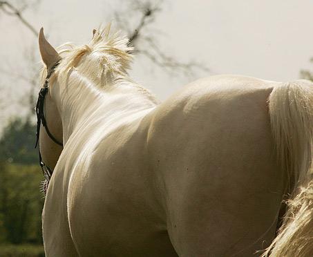Show Horse Gallery - RFF El Dorado