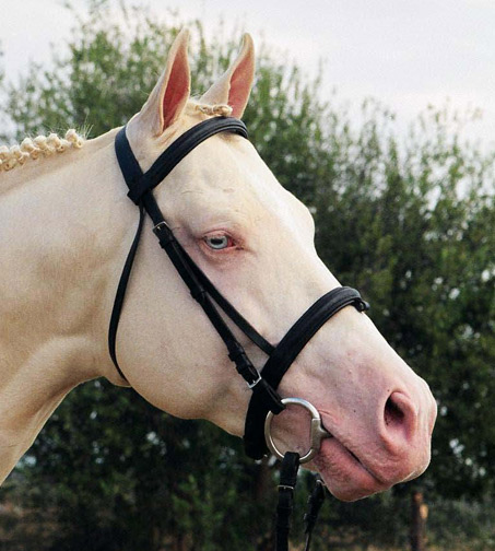 RFF El Dorado, Cremello Thoroughbred Stallion
