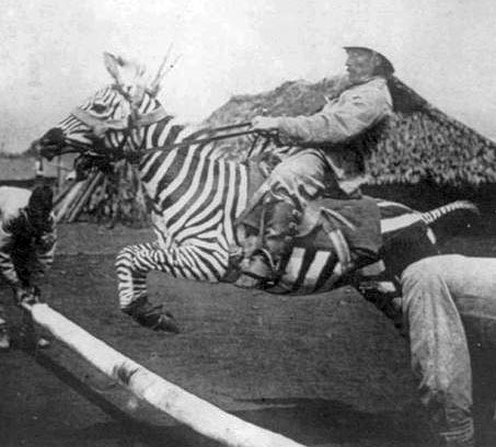 Show Horse Gallery - Riding Zebra