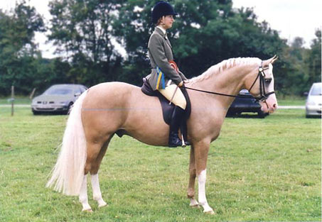 Show Horse Gallery - Shulay Gold