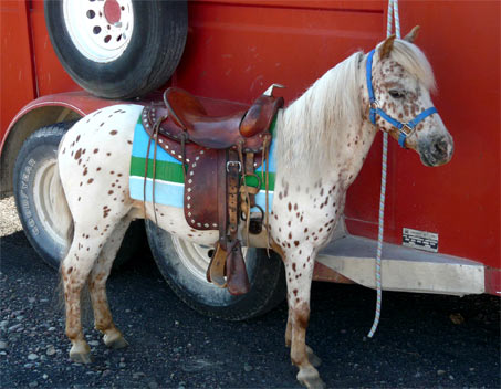 Show Horse Gallery - Spirited Little Copper Spots