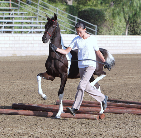 Show Horse Gallery - TDR  Zivah The Diva