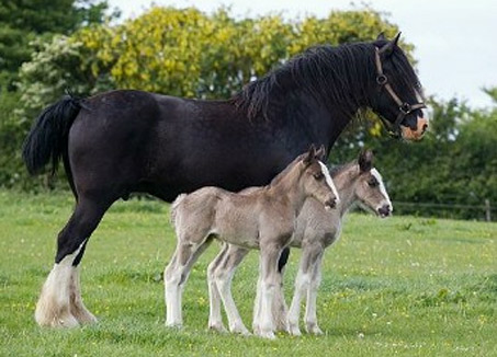 Show Horse Gallery - Rare Twin Horses Born