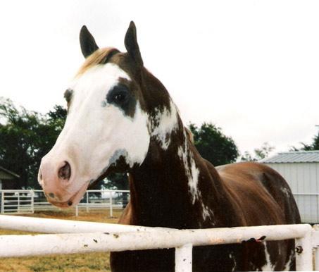 Show Horse Gallery - Zippos Sensation